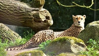 big cheetah cat in its nature world