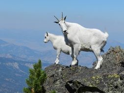 pair of white mountain goats on peak