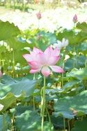 thickets of pink lotus