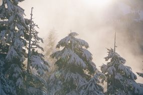 snow on coniferous trees in the forest