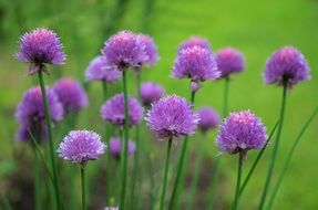 natural purple wildflowers
