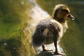 Young duck on a pond