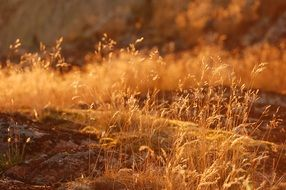 golden grass on a hill in the sun