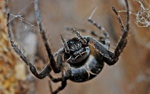 close up picture of black poisonous spider