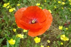 Red poppy flower blossoms