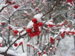 red berries on a bush in the snow