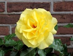 beautiful yellow rose in the garden