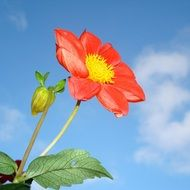 red dahlia flower on blue sky background