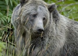 macro photo of a grizzly bear in the wild