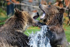 cute grizzly bears playing in water