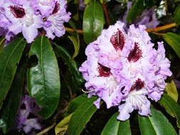 delicate rhododendron flowers