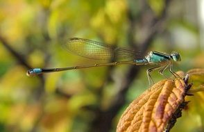 blue dragonfly on a yellow autumn leaf