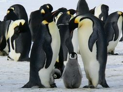 flock of adult emperor penguins with chicks, antarctic