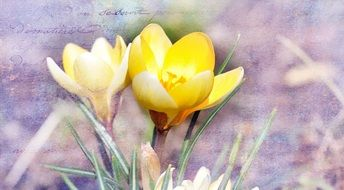Yellow crocuses on a blurred background