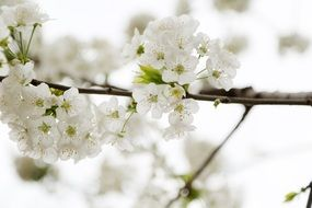 delicate apple blossoms in spring