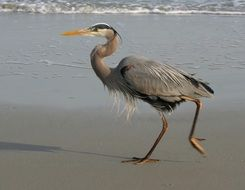 walking blue heron