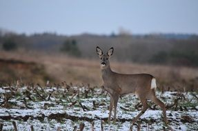Roe deer near the forest