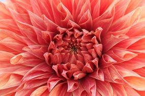 lush pale red dahlia close up