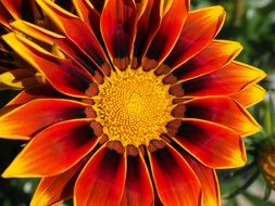 bright gazania is a kind of aster