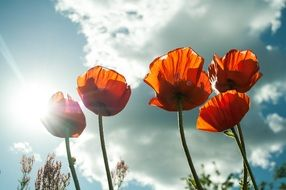 five red poppies against a sunny sky