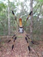 spider golden silk orb weaver weaves a web
