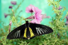 black and yellow wild butterfly