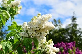 white lilac flowers on branch
