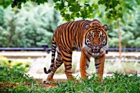 Sumatran tiger is walking