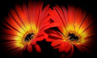 Yellow and red gerbera flowers