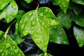 Green ivy leaves in raindrops