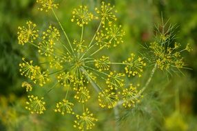 dill as a spice for cucumbers