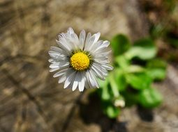 lonely daisy on the stone