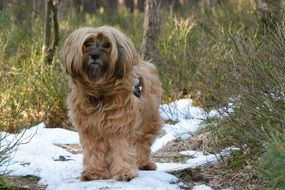 tibetan terrier stands in the snow in the forest