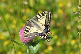 swallowtail butterfly on clover