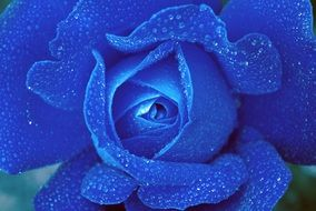 blue rose in water drops