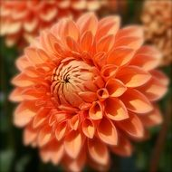 dahlia flower orange nature