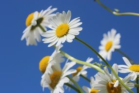 White daisies on a background of clear sky