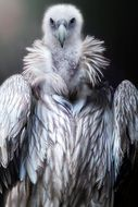 prey vulture bird portrait