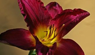 burgundy lily with yellow heart close-up