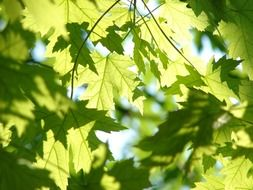 delightful leaves green maple