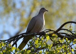 grey dove sits on a spring tree branch