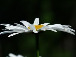 White and yellow margerite flower