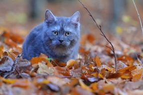 gray purebred cat on autumn foliage in the forest