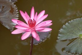 pink waterlily flower