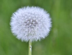flying white dandelion seeds