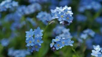A lot of the blue wild flowers