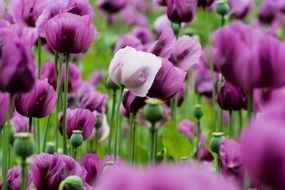 purple poppies field