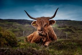beef scotland highland cow ox