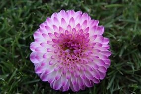 Top view of a lush white and pink dahlia