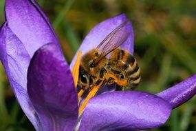 bee on a crocus blossom